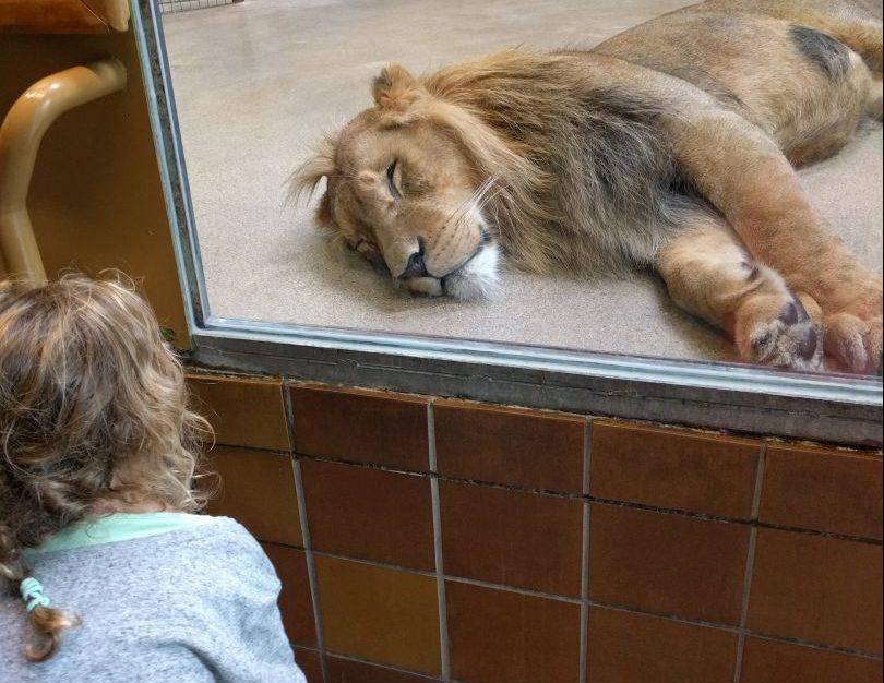 dierentuin Duisburg slapende leeuw