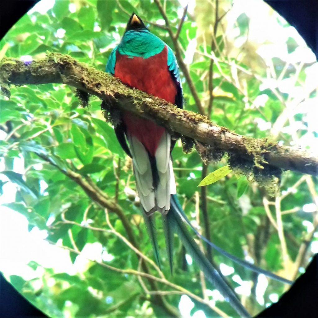 quetzal mannetje